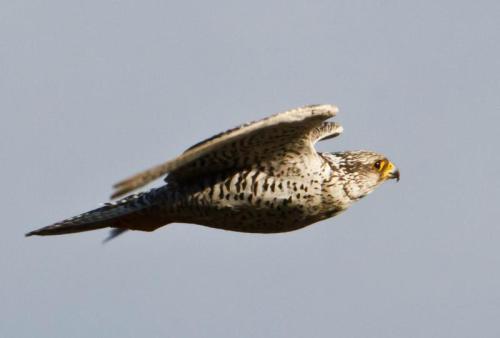 Falco_rusticolus_-Iceland_-flying-8